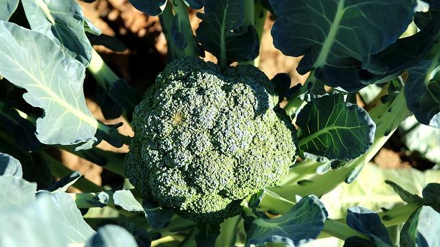 planta de brocoli